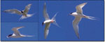 Roseate Terns above North Brother, Nova Scotia - July 21, 2002 - Ted C. D'Eon