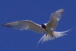 Roseate Tern above North Brother, Nova Scotia - Ted C. D'Eon - July 21, 2002